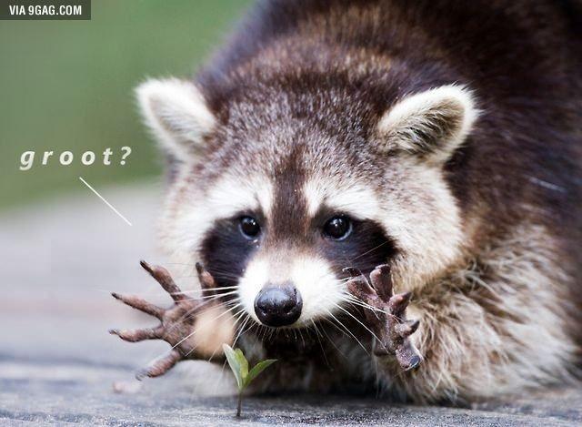 Real raccoon Groot